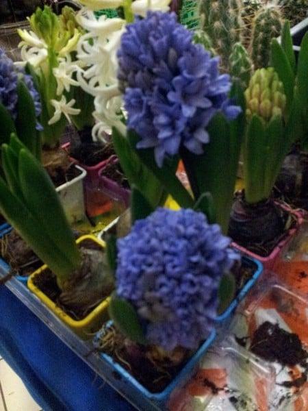 giacinto-fiore