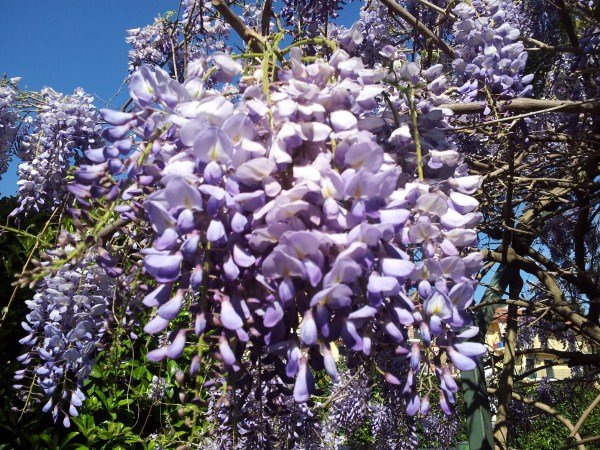 Glicine-fioritura