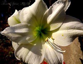 Amaryllis-fiore