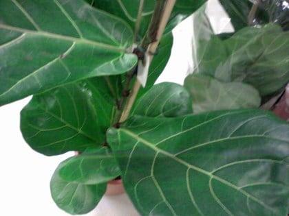 Ficus-pandurata