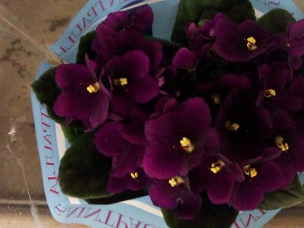 violetta-africana