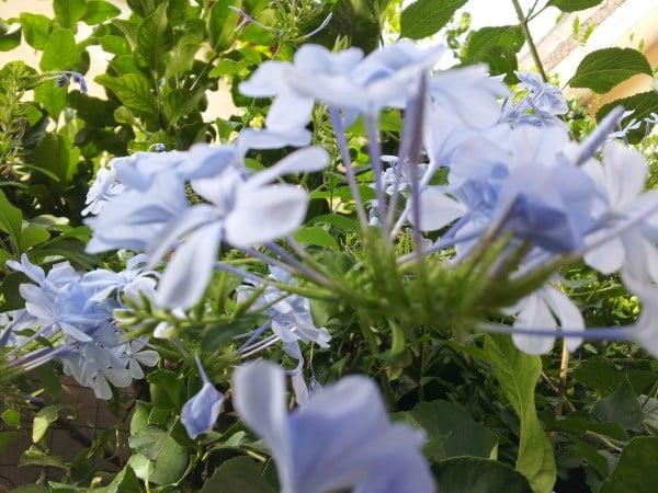 Plumbago coltivazione for Potatura gelsomino