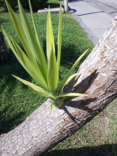 Yucca rostrata coltivazione - Orchidee da esterno ...