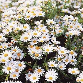 Il seminatore margherita bianca for Potatura margherite