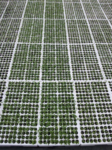 pomodori-semina-serra