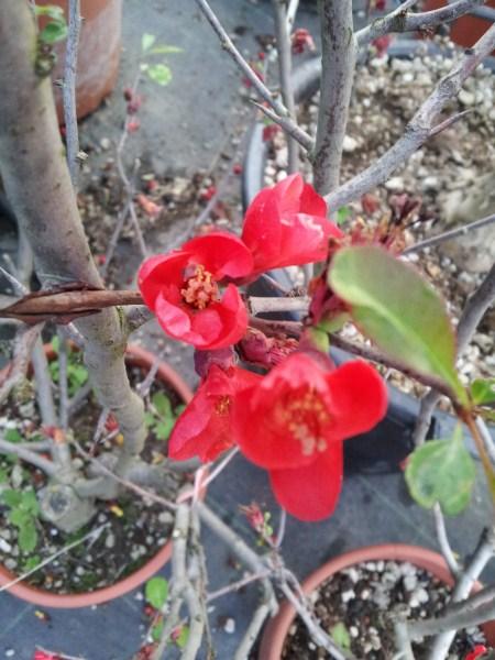 Mandorlo-fiore