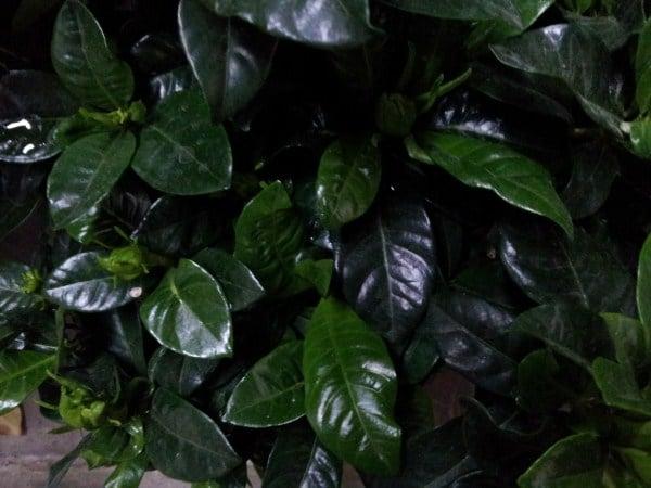 Gardenia-foglie