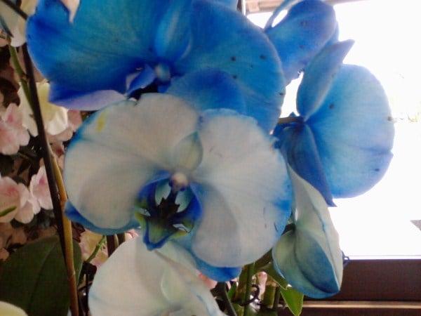 Phalaenopsis - Orchidee - coltivazione