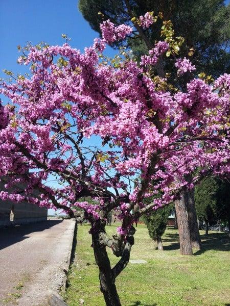 albero di giuda siliquastro coltivazione