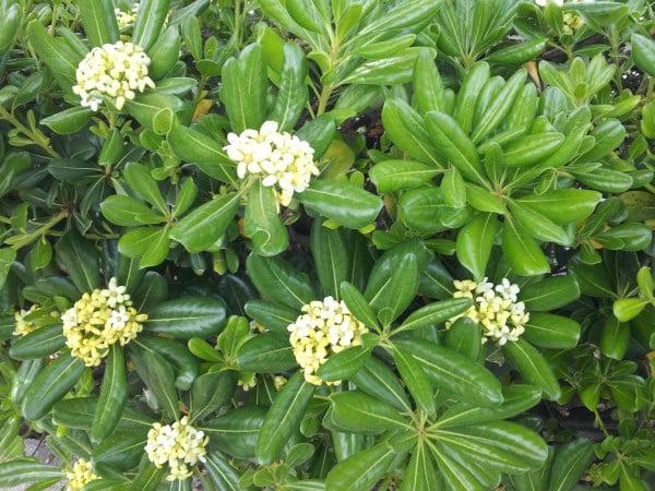 pitosforo-fioritura