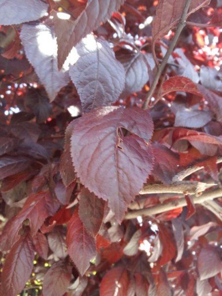 Pruno-foglie