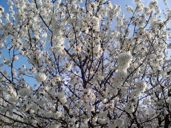 ciliegio-coltivazione
