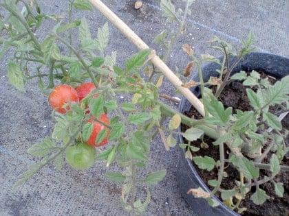pomodori-pachino-vaso