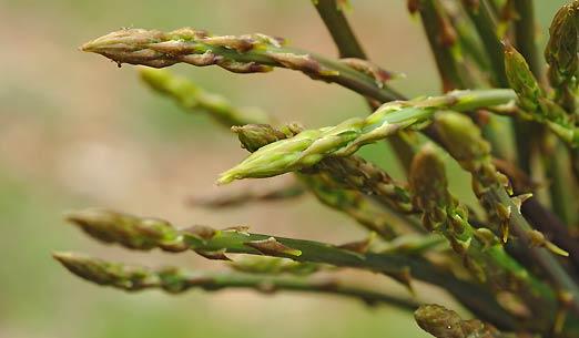 asparagi selvatici