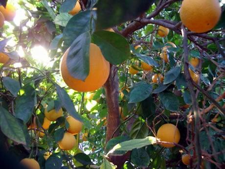 Potatura degli aranci