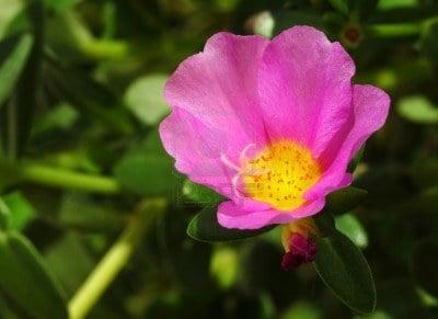 portulaca-fiore