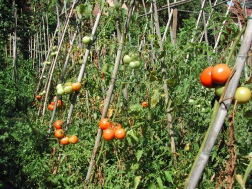 sostegno-pomodori