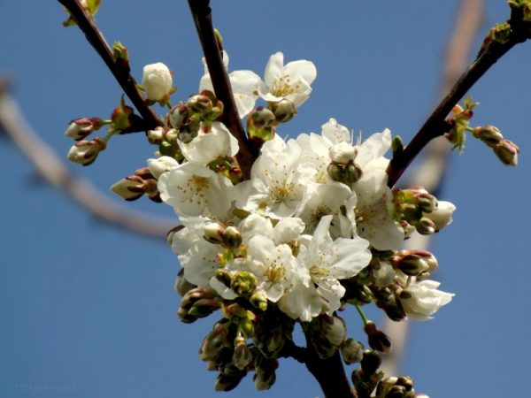 fiori-susino