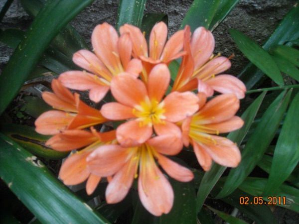 clivia-fiore