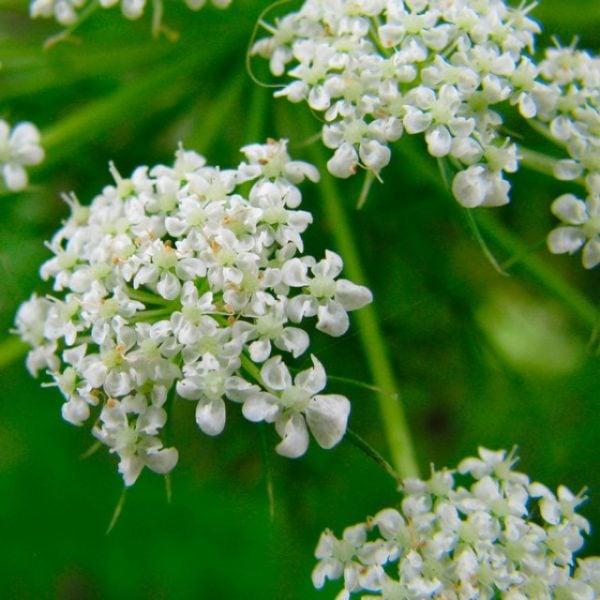 anice-pimpinella-anisum-fiori