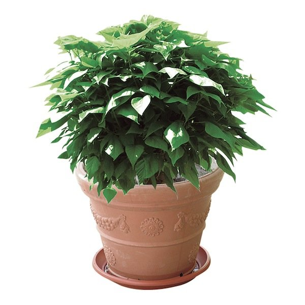 Catambra - pianta-antizanzare
