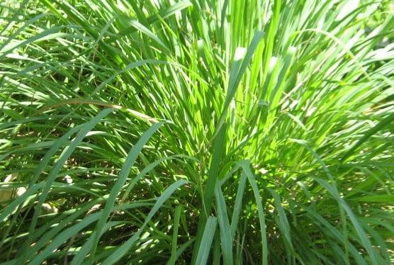 CitronellaLemongrass
