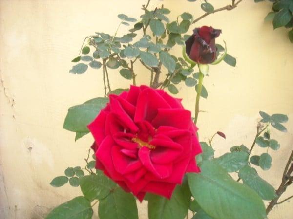 rosa velluto