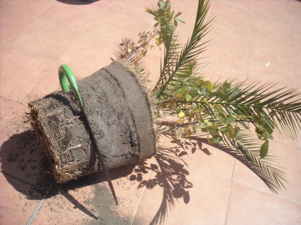 Rinvaso palme nane - Palme nane da giardino ...