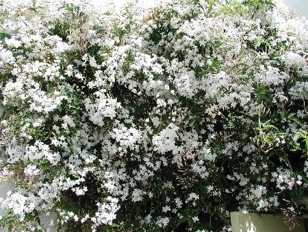 Gelsomino - Jasminum coltivazione