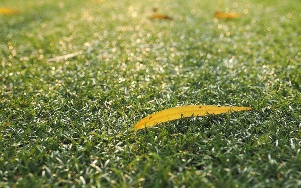 Agrostide stolonifera – Agrostis