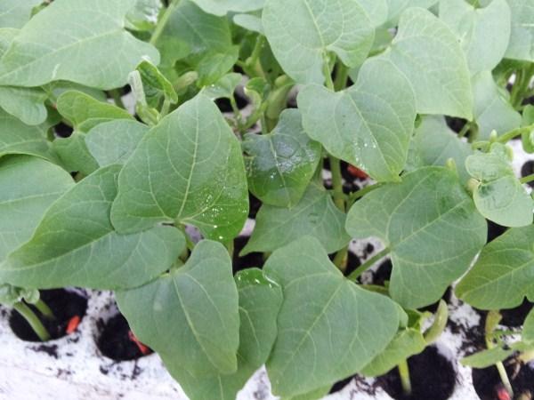 Fagiolini-piante