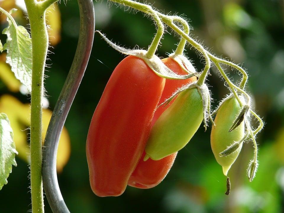pomodori-per pelati