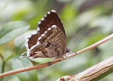 licenide-farfalla