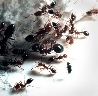 Pavimenti lavaggio anti formiche - Invasione di formiche in cucina ...