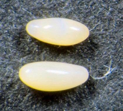 uova-punteruolo