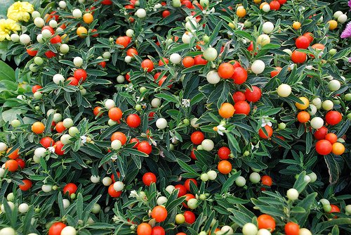 solanum caspicastrum-coltivazione