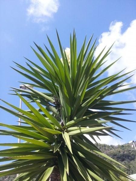 Yucca-gloriosa