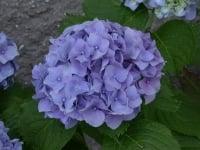 clorosi-piante