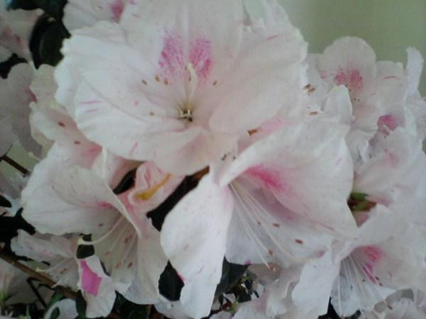 Azalea-fiori-foto