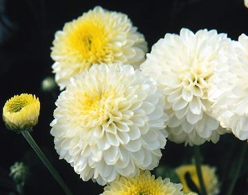 crisantemi-pompon