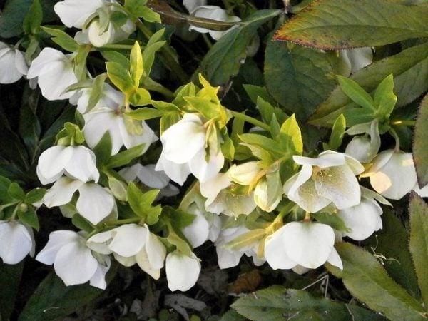 fiori-rose-di-natale-elleboro