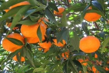 mandarini-proprietà