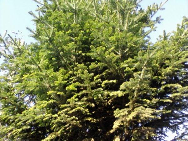 Abete-rosso-Picea-abies