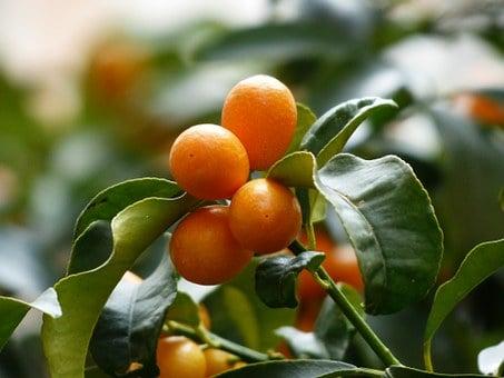 kumquats-frutti
