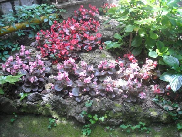 begonia-coltivazione