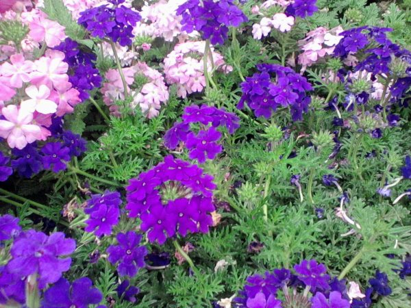 Verbena coltivazione - Verbena pianta ...