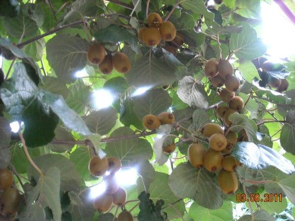 Kiwi-potatura-estiva
