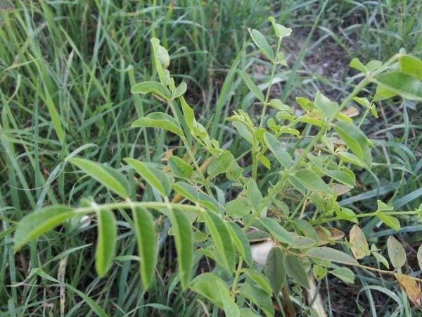 liquirizia-pianta
