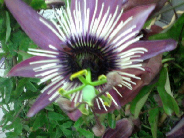 Passiflora-fiore