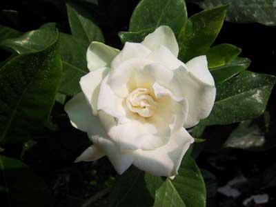 talee-gardenia